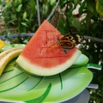One of the many butterflies enjoying a piece of watermelon.
